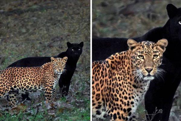pantera e leopardo capa