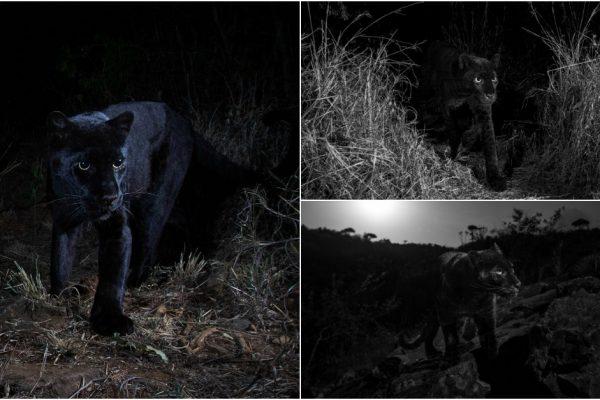 pantera negra capa