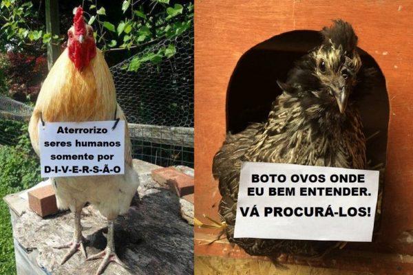 plaquinhas de galinhas capa