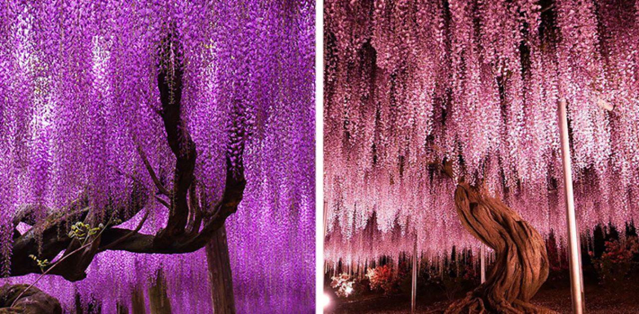 árvore japonesa capa