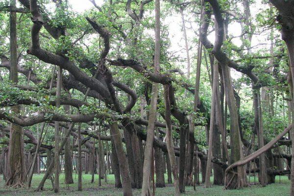 árvore larga 01