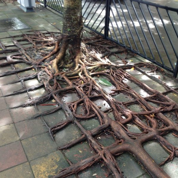 tree-roots-concrete-pavement-4
