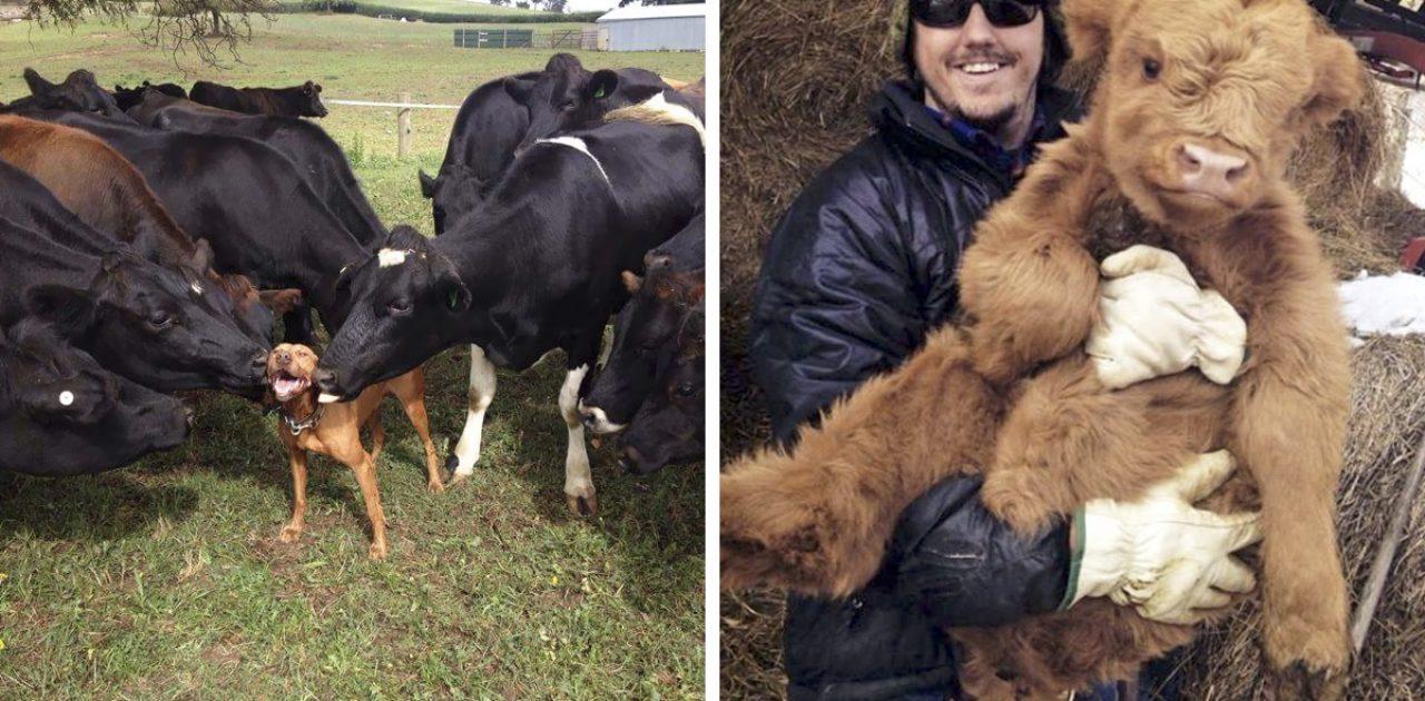 vacas carinhosas capa